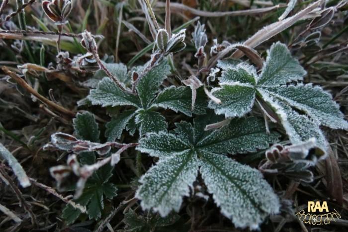 plantfrostcopyrightrachel-a