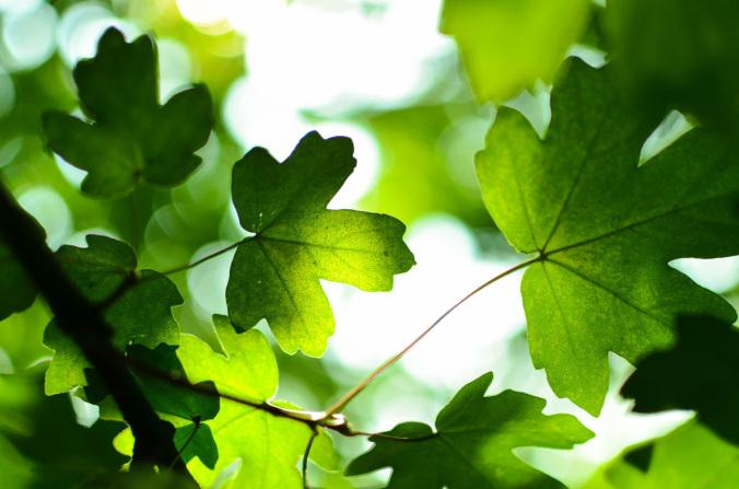 leafshape